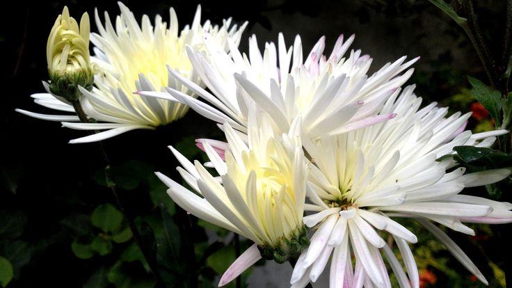 https://flic.kr/p/EjogrG   Crisantemo