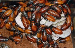 Madagascar Hissing Cockroach Care - Remarkable Pets