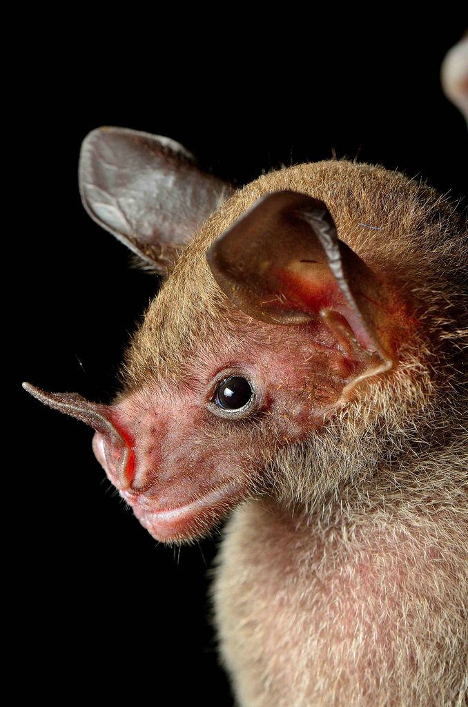 Pale spear-nosed bat: This Central and South American bat species feeds mostly on nectar, pollen, and flowers but is omnivorous and will sna...