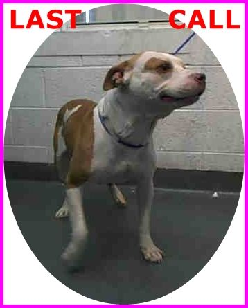 BELL (A1666857) I am a female white and tan American Bulldog mix. The shelter staff think I am about 3 years old. I was found as a stray and I am available for adoption. Miami Dade https://www.facebook.com/urgentdogsofmiami/photos/pb.191859757515102.-2207520000.1419873713./898913186809752/?type=3&theater
