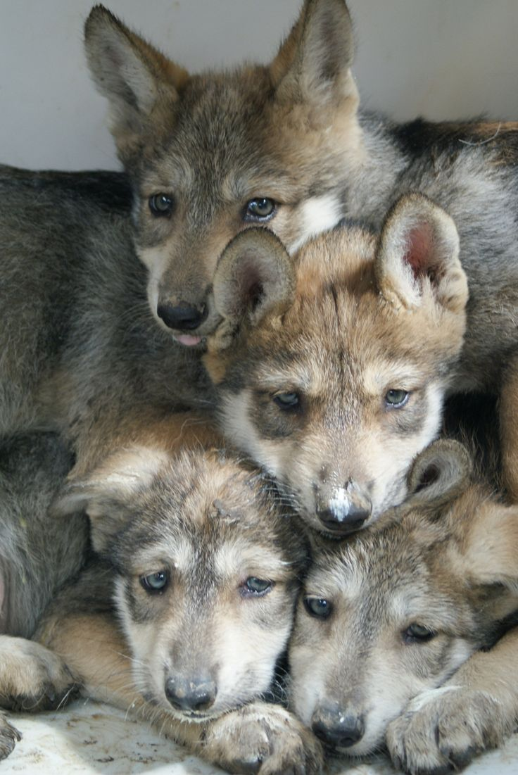 sisterofthewolves: Mexican wolf puppies  Thank you as always for sharing, I'll take them all❤