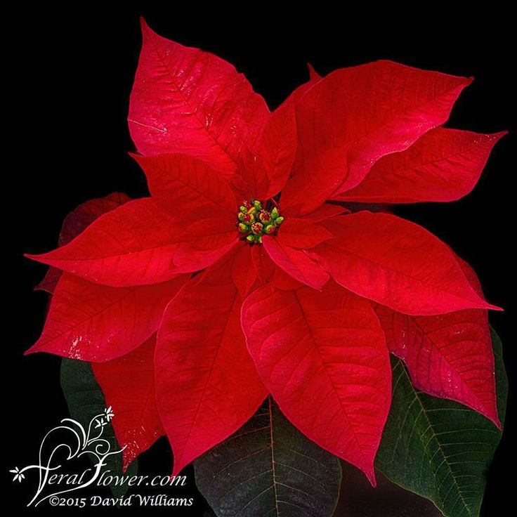 I've taken so many photos of the unusual poinsettias, and realized I haven't taken one of the traditional red one. Here it is:-) For those that don't know, poinsettias are non toxic to pets. #poinsettia #poinsettias #houseplant #flowerstalking #fs_dark #feralflowerphotography #williamsnursery #canon #holidaydecor #holidayplant #christmas  #redflower #traditional #gardencenter #my_daily_flower #pretty #flower  #picoftheday#christmas2015  #greenhouse #canon6d