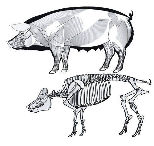 animal anatomy - Google Search