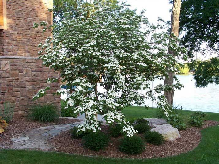 17 best images about landscape on pinterest gardens for Flowering dwarf trees for landscaping