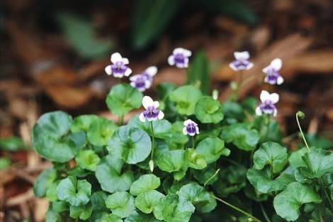 native violet ground cover shaded areas