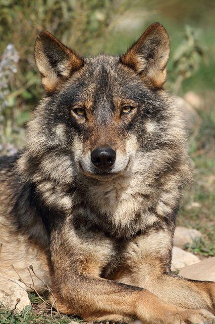 Precioso ejemplar de lobo ibérico en el cuál se puede observar como su manto de pelo se vuelve mas espeso para protegerse de la llegada del invierno.