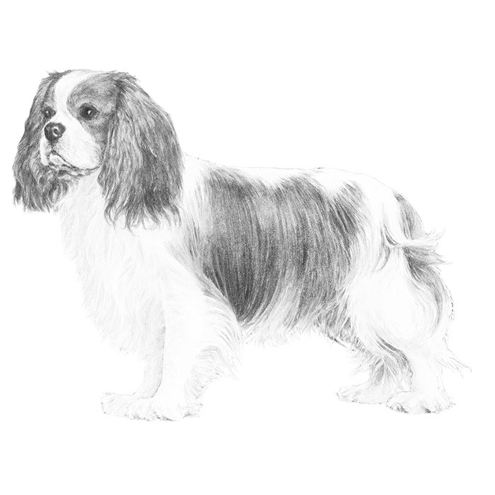 Cavalier King Charles Spaniel Breed Standard Illustration.  AKC breed info webpage
