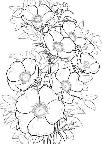 Cherokee Rose Coloring page from Roses category. Select from 20890 printable crafts of cartoons, nature, animals, Bible and many more.