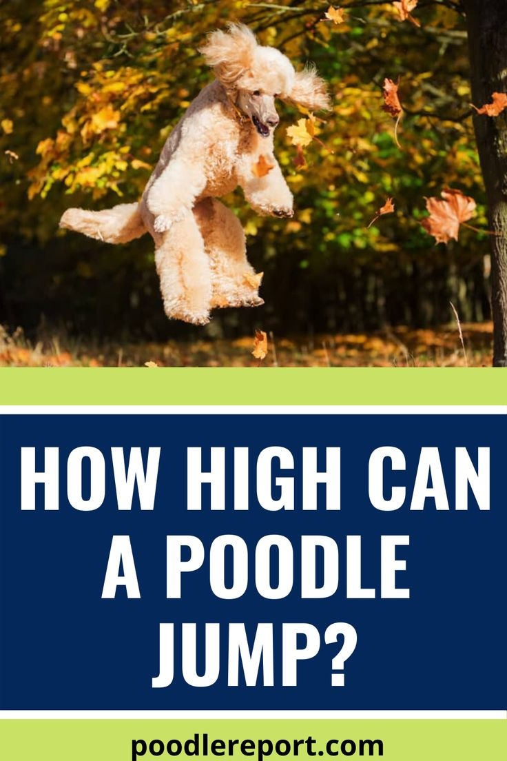 How high can a poodle jump in 2020 poodle poodle