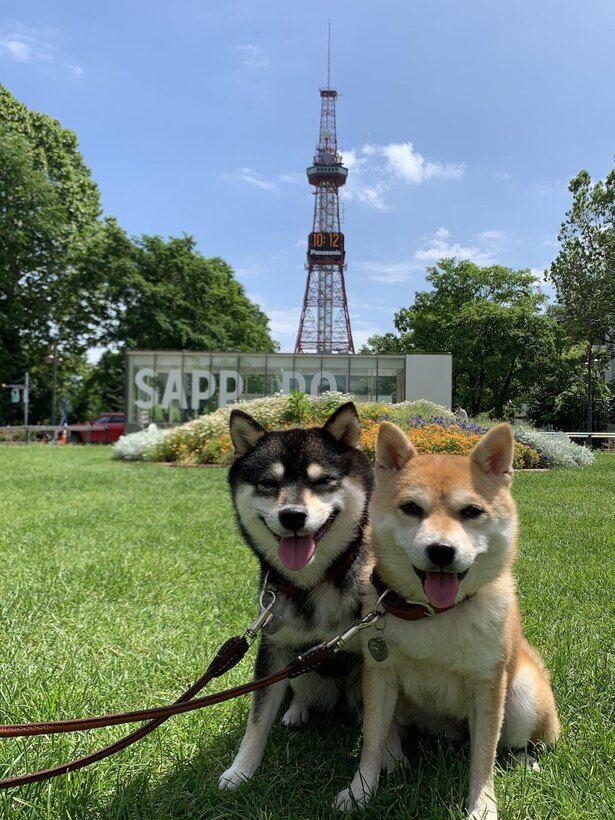 日本各地を旅する豆柴の なつ ふゆ がかわいい バックハグで眠る仲良しな2匹 ウォーカープラス ペット 旅行 柴犬 犬 動画 かわいい