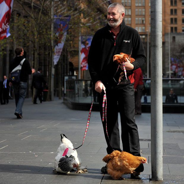 "Pssst..the chickens have on diapers!  ""John Huntington poses with his chickens in Sydney, Australia. Mr Hungtington's 'City Chicks' are chickens for those living in an urban environment. They come complete with small walking leads and harnesses and elasticised nappies."""