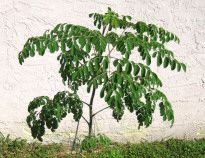 The Moringa Oleifera leaf is the most nutritious part of the tree. It is native to Africa and India.