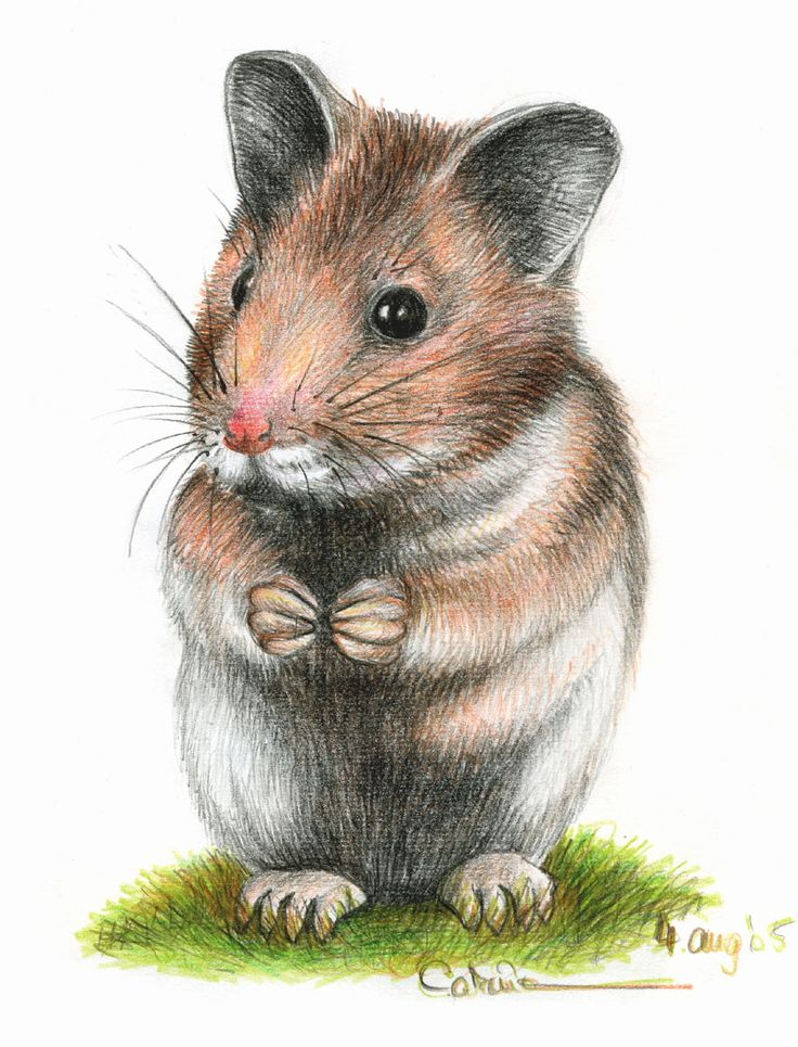 10 best Drawings images on Pinterest | Hamsters, Draw ...