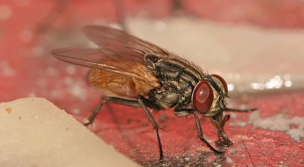 Housefly Top 10 Animals With Shorter Life Span In The World
