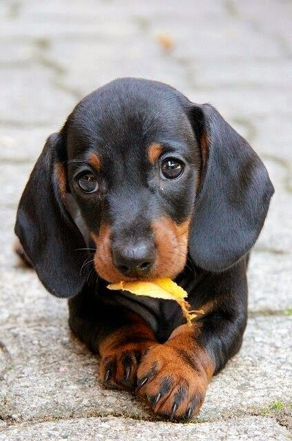 DASHSHUND - SMALL SCENT HOUND WITH SHORT LEGS.  TRACED TO THE 1600S WHEN USED IN GERMANY TO HUNG AND TRACT BURROW DWELLING ANIMALS.TOP 5 MOST POPULAR DOG BREEDS IN AMERICA