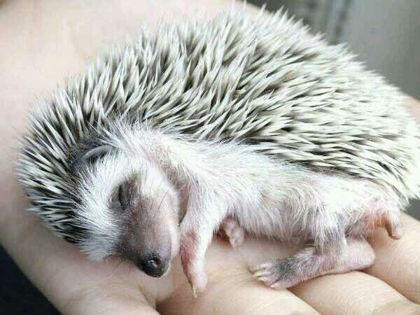 Sleeping hedgehog - just so dang cute!
