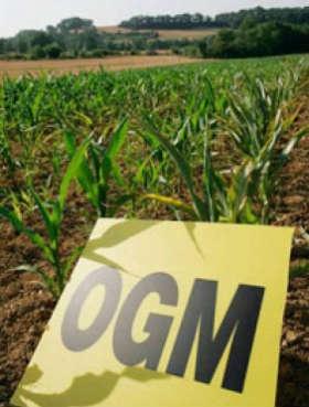 Preoccupante il nuovo studio sul mais OGM