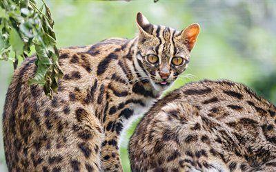 Scarica sfondi fauna selvatica, animali, i gatti del bengala