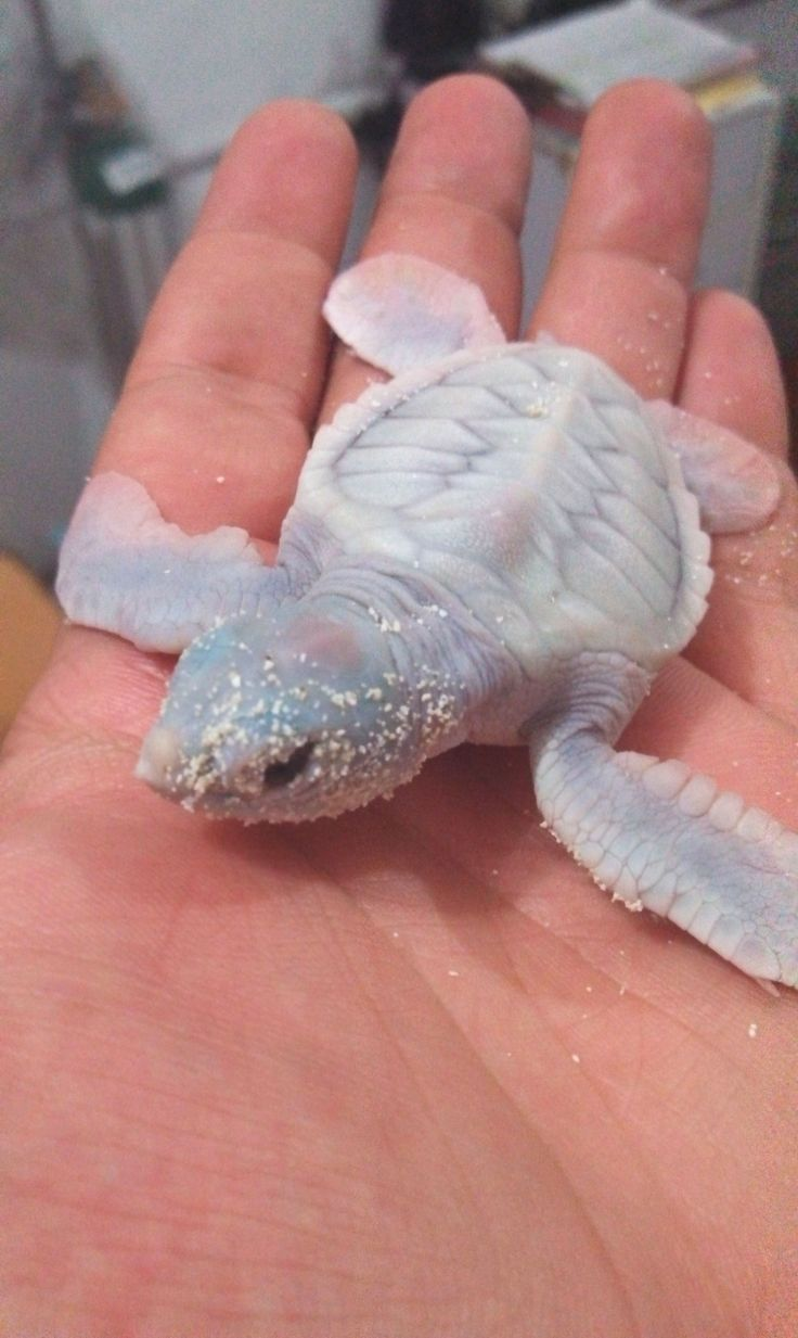 Albino Turtle being released.