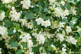 Jasmine Plant Care: Learn How to Properly Grow a Jasmine Bush