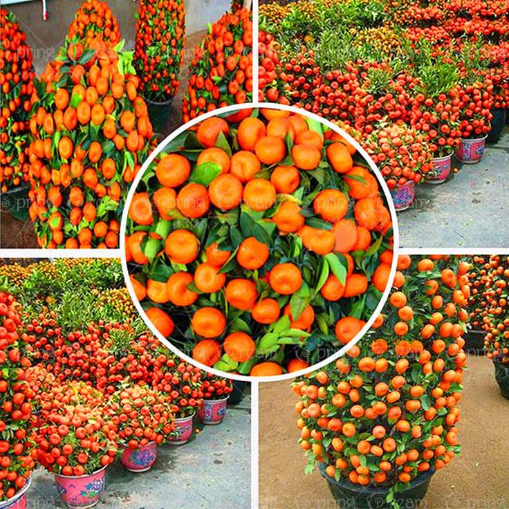 50 Pcs 2014 Real New Outdoor Plants Winter  Potted Edible Fruit Seeds Bonsai China Climbing Tree Home&Garden Free Shipping