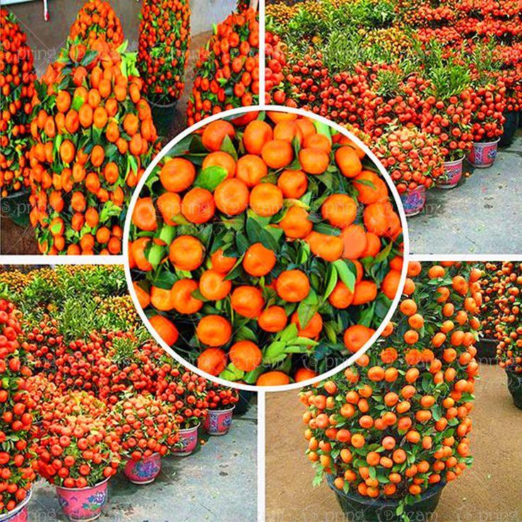 50 Pcs 2014 Real New Plantes D'extérieur Hiver En Pot Comestibles Graines de Fruits Bonsaï Chine Escalade Arbre Maison & Jardin Livraison gratuite
