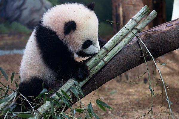 Zoo Atlanta Panda Cub