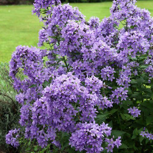 Dolden-Glockenblume - Campanula lactiflora 'Prichard's Variety'