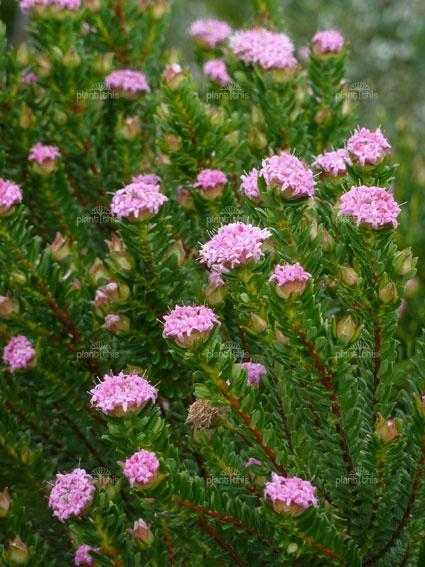 Pimelea ferruginea | Pink Rice Flower 1m x 1-2m sun/part shade, range of soils