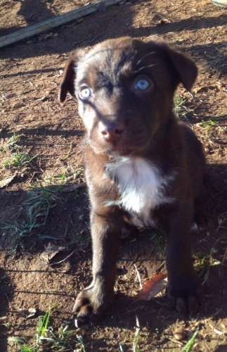 2 RED BOYS LEFT- mini red dogs!       Working dogs but parents have great natures so will   make great pets for active people/families   Well socialised and handled regularly by my 3yo daughter   Wormed every 2 weeks   Vaccinated - https://www.pups4sale.com.au/dog-breed/450/Kelpie-(Australian).html