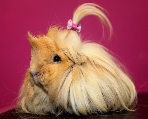 Long haired guinea pig - photo#5
