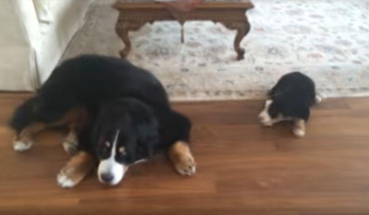 De piepjonge Berner Sennen puppy is klaarwakker - Maar papa? Die is nog lang niet wakker...