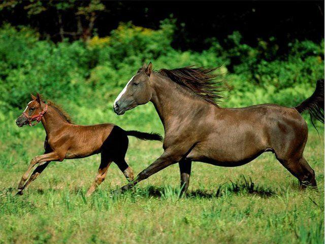 AlleKonie.pl - zdjęcia koni - Tapety