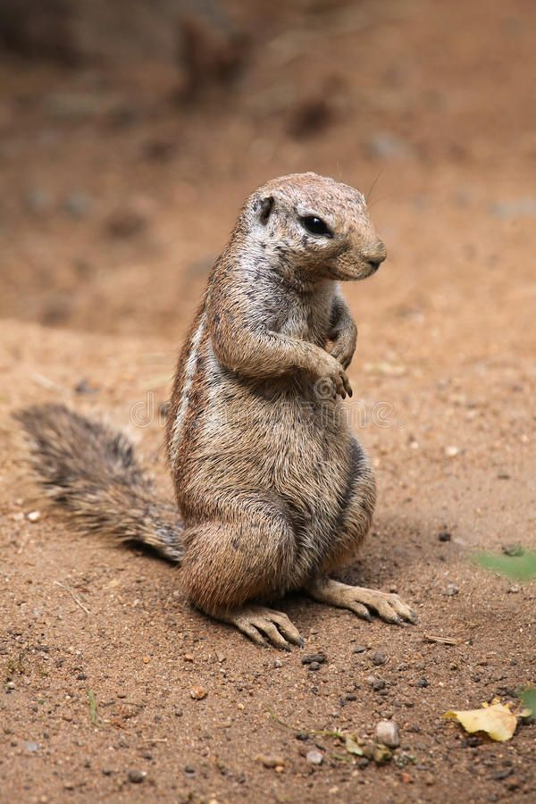 Cape Ground Squirrel Xerus Inauris Wildlife Animal Ad Squirrel Ground Cape Xerus Animal Ad Animals Squirrel Wildlife Animals