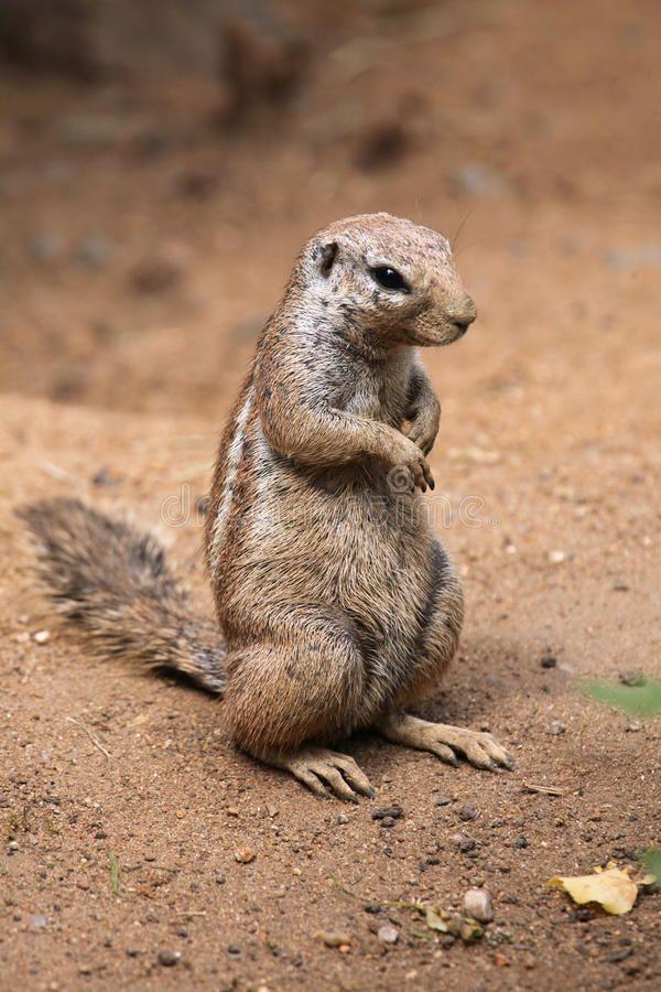 Cape Ground Squirrel Xerus Inauris Wildlife Animal Ad Squirrel Ground Cape Xerus Animal Ad Animals Squirrel Wildlife Animals