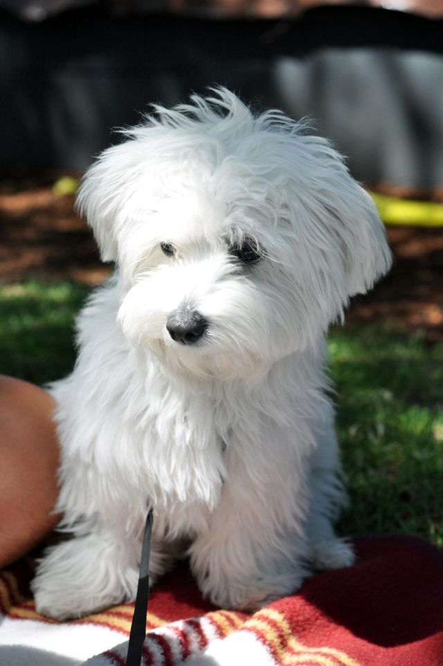 "Westiepoo - sweet little! | ""Man's"" BEST Friend ... Black Maltese Poodle Puppies"