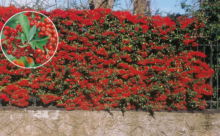 Pyracantha Saphyr Rouge Hedge And Showing Red Berry Colour