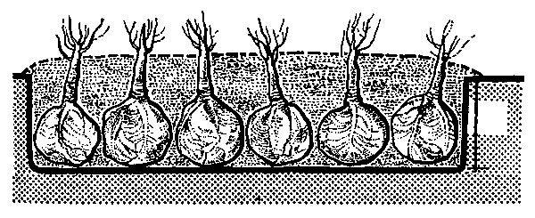 Ako správne uskladniť zeleninu na zimu  8