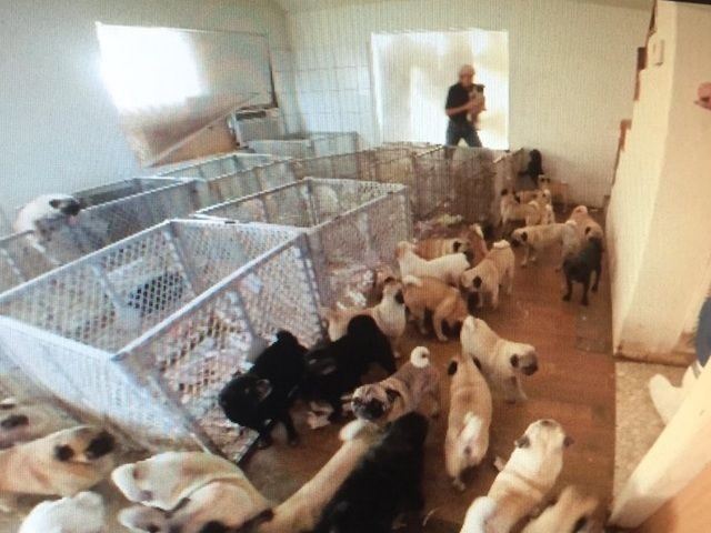 The Maricopa County Sheriff's Office MASH Unit is now accepting applications to adopt 120 pugs that were rescued from a puppy mill in Tonopah last month.