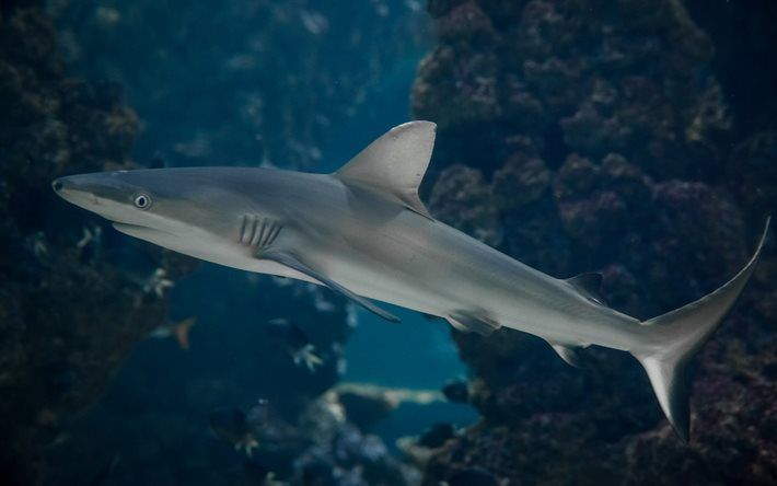 Scarica sfondi piccolo squalo, predatore, acquario, subacqueo, squalo
