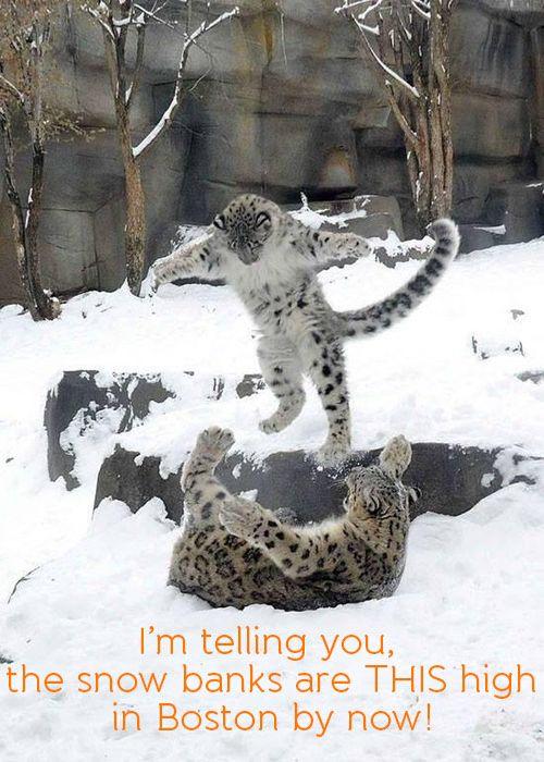Snow leopards playing! #JuniorExplorers #Meme #Boston #Snow