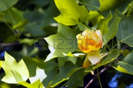 Liriodendron Tulipifera — Known As The Tulip Tree, American.. Stock Photo, Picture And Royalty Free Image. Image 20886306.