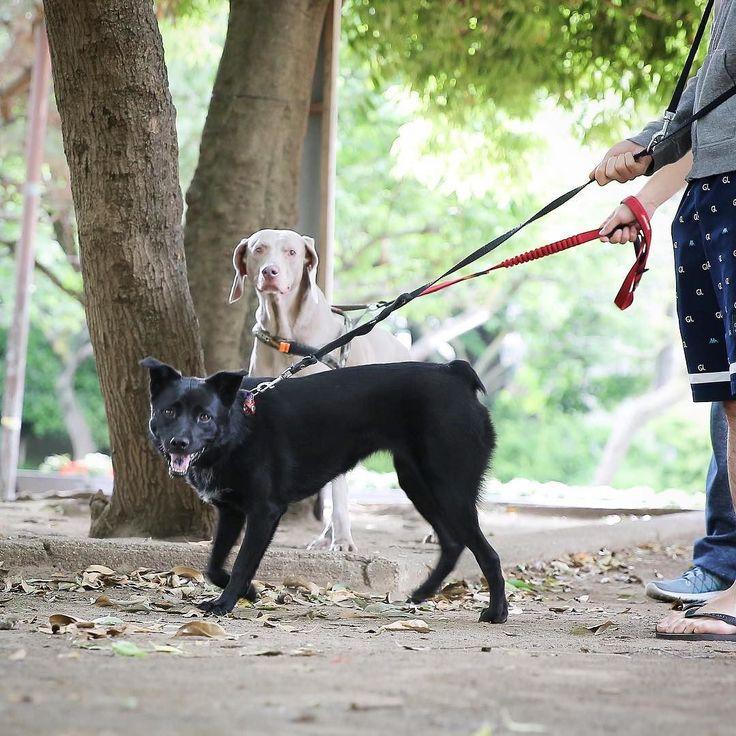 #doghuggy #doghuggyhouse #dogstagram #dogofthedayjp #ドッグハギー #犬バカ部 #いぬすたぐらむ #犬なしでは生きていけません会  #犬がいる生活  #ミックス犬部  #ミックス犬  #保護犬  #黒犬 #黒犬の会 #ワイマラナー #ワイマラナーショート