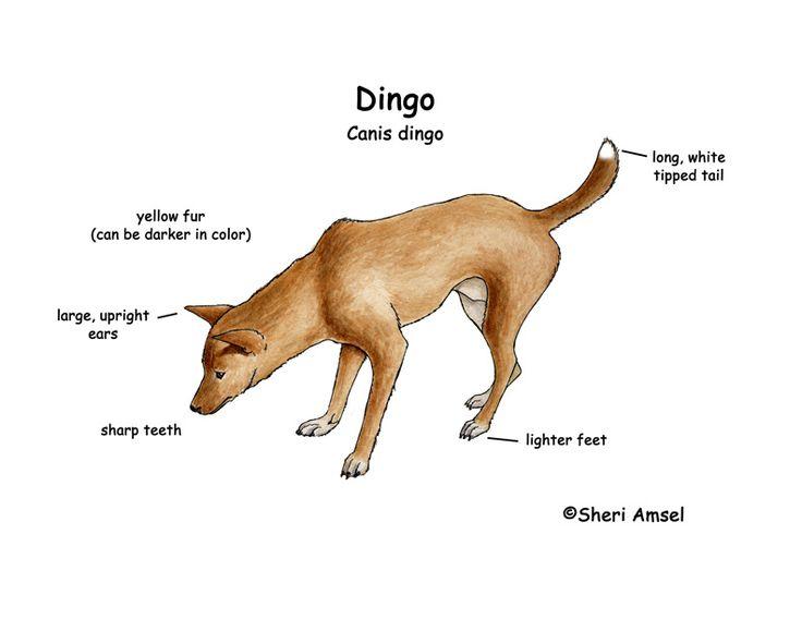 27 best images about hondachtigen dingo on pinterest