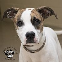 Pictures of Iggy a Boxer Mix for adoption in Troy, OH who needs a loving home.