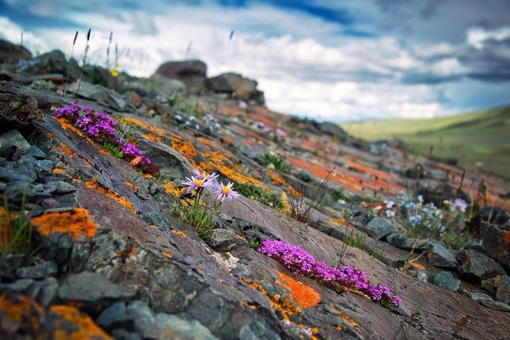 И на камнях растут цветы. Лето в Алтайских горах.