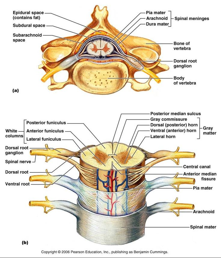 Spinal cord and its roots along with clear labels for all. Helpful in understanding anatomy and diseases and growths within this structure.