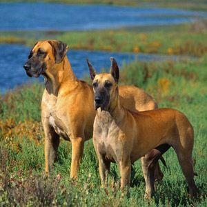 Razas de perros: Gran Danés | Blog del perro