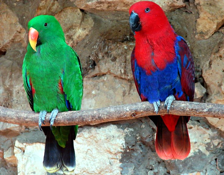 Eclectus Parrot (Eclectus roratus). Native to the Solomon Islands, other nearby South Pacific Islands and northeastern Australia, the Eclectus is unusual among parrots for its extreme sexual dimorphism. Both males and females have spectacular plumage - males are bright emerald green and females are bright red and purple. As well as free populations, Eclectus parrots are also bred as popular but demanding pets.