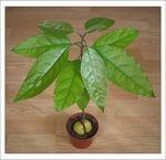 Мобильный LiveInternet Тропическое дерево Авокадо дома - выращиваем из косточки | Verba_V - Дневник Verba_V |